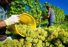 Gut lief es im Vorjahr für die Weinbauern: Diese konnten im Vorjahr eine mengenmäßig und qualitativ gute Ernte einbringen.