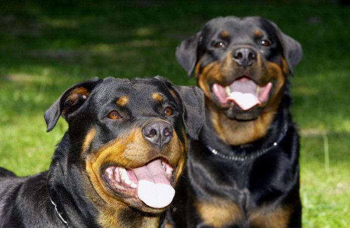 Amstetten: Neunjähriger von mehreren Hunden gebissen