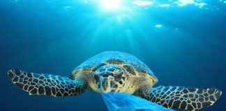 Plastic pollution in ocean environmental problem. Turtles ca