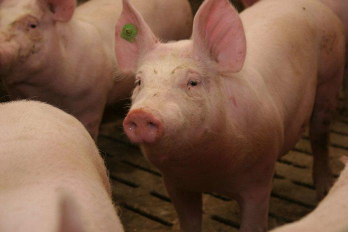 Mit Schweinen und Ferkeln lässt sich aufgrund der gestiegenen Nachfrage in China nach einer Niedrigpreisphase wieder mehr Geld verdienen.