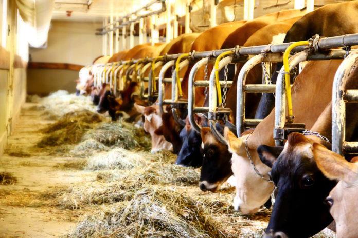 Dauerhafte Anbindehaltung von Rindern verbietet das Tierschutzgesetz. Bauern haben aber noch bis 31. Dezember 2019 Zeit, in einer Meldung an die Bezirkshauptmannschaft Ausnahme-Gründe geltend zu machen. Erfolgt die Meldung nicht, drohen Verwaltungsstrafen.