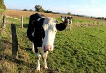 Wermutstropfen Rinderproduktion: Diese war mit minus 4,5 Prozent erneut rückläufig.