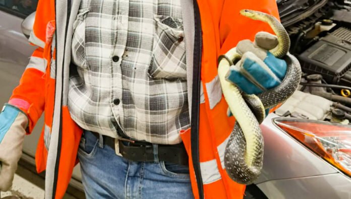 Schlange ber 120 km als blinder Passagier unterwegs