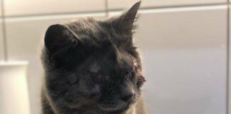 Täglich werden die Tierschützer mit Katzenleid konfrontiert. Dieser Vierbeiner streunte mit komplett vereiterten Augen in Seewalchen umher. Der Tierarzt musste das bereits blinde Tier operieren.