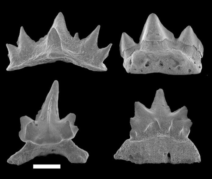 138 Millionen Jahre alte Zähne der neuen österreichischen Haifischarten Cretacladoides ogiveformis, Natarapax trivortex, Similiteroscyllium iniquus und Altusmirus triquetrus
